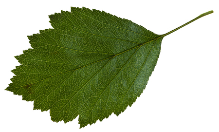 mollis: green leaf of Crataegus mollis (Downy Hawthorn , Red Hawthorn) shrub isolated on white background