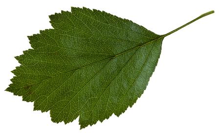 downy: green leaf of Crataegus mollis (Downy Hawthorn , Red Hawthorn) shrub isolated on white background