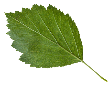 mollis: back side of green leaf of Crataegus mollis (Downy Hawthorn , Red Hawthorn) shrub isolated on white background