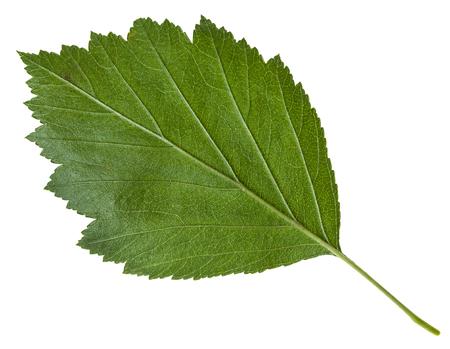 downy: back side of green leaf of Crataegus mollis (Downy Hawthorn , Red Hawthorn) shrub isolated on white background