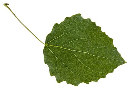 quaking aspen: green leaf of aspen (Populus tremula) tree isolated on white background