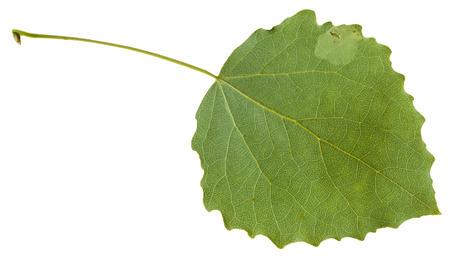 quaking aspen: back side of green leaf of aspen (Populus tremula) tree isolated on white background