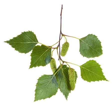 betula pendula: branch of birch tree (Betula pendula, silver birch ,warty birch, European white birch) with green leaves and catkins isolated on white background Stock Photo