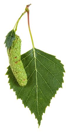 betula pendula: catkin and green leaf of birch tree (Betula pendula, silver birch ,warty birch, European white birch) isolated on white background