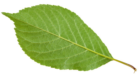 gean: back side of Prunus padus tree green leaf ( bird cherry, hackberry, hagberry, mayday tree) isolated on white background Stock Photo