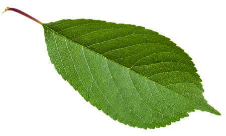 gean: Prunus padus tree green leaf ( bird cherry, hackberry, hagberry, mayday tree) isolated on white background Stock Photo