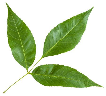 ramoscello con foglie verdi di Fraxinus excelsior albero (cenere, cenere europea, frassino comune) isolato su sfondo bianco