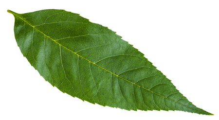 green leaf of Fraxinus excelsior tree (ash, European ash, common ash) isolated on white background