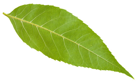 ash tree: back side of green leaf of Fraxinus excelsior tree (ash, European ash, common ash) isolated on white background