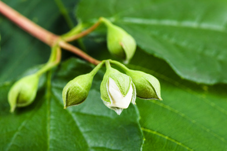 bourgeon: white bud of Honeysuckle shrub close up with green leaf background