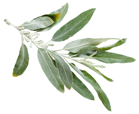 salix alba: twig with silver leaves of Senjed (Elaeagnus angustifolia, silverberry, oleaster, elaeagnus) isolated on white background Stock Photo