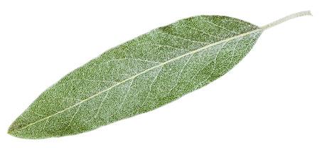 salix alba: silver leaf of Elaeagnus angustifolia ( silverberry, oleaster, elaeagnus) isolated on white background Stock Photo