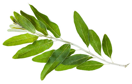 salix alba: twig with green leaves of Senjed (Elaeagnus angustifolia, silverberry, oleaster, elaeagnus) isolated on white background Stock Photo