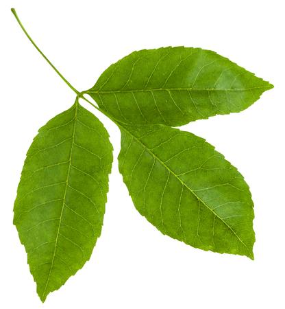 ramita con hojas verdes de árbol ornus Fraxinus (cenizas maná, del sur de Europa fresno de flor) aisladas sobre fondo blanco