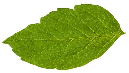 ash tree: green leaf of Acer negundo (maple ash) tree isolated on white background