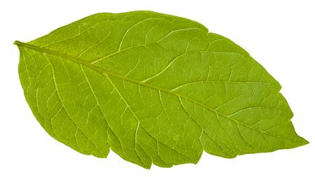 ash tree: back side of green leaf of Acer negundo (maple ash) tree isolated on white background