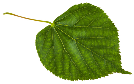 tilia cordata: green leaf of Tilia cordata tree (small-leaved lime, little leaf linden, small-leaved linden) isolated on white background Stock Photo