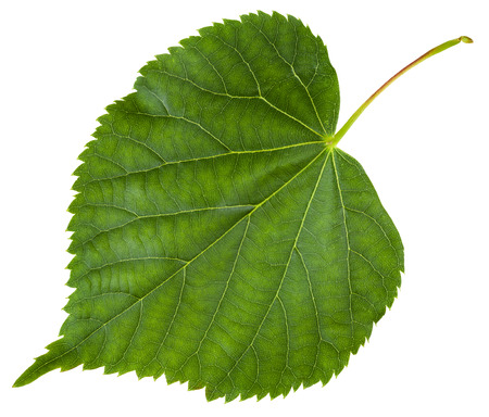 tilia cordata: fresh leaf of Tilia cordata tree (small-leaved lime, little leaf linden, small-leaved linden) isolated on white background