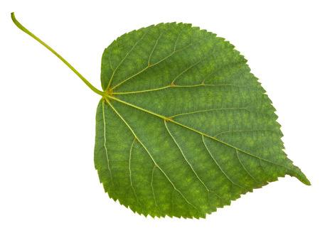 tilia: back side of green leaf of Tilia cordata tree (small-leaved lime, little leaf linden, small-leaved linden) isolated on white background