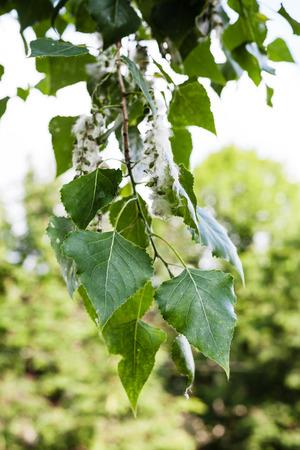 arbol alamo: leaves of poplar tree (populus nigra, black poplar) and fluff on catkins - the source of the allergy