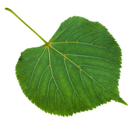 tilia: back side of green leaf of Tilia platyphyllos tree ( largeleaf linden, , large-leaved lime) isolated on white background Stock Photo