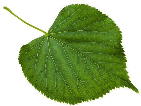 tilia: green leaf of Tilia platyphyllos tree ( largeleaf linden, , large-leaved lime) isolated on white background