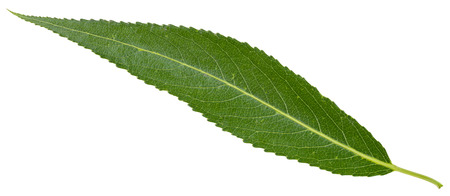 crack willow: green leaf of crack willow (Salix fragilis, brittle willow) isolated on white background Stock Photo