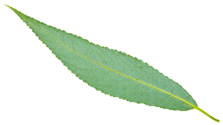 osier: back side of green leaf of crack willow (Salix fragilis, brittle willow) isolated on white background