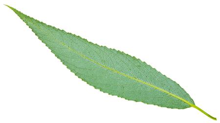 salix fragilis: back side of green leaf of crack willow (Salix fragilis, brittle willow) isolated on white background