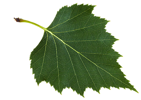 european white birch: green leaf of birch tree (Betula pendula, silver birch ,warty birch, European white birch) isolated on white background