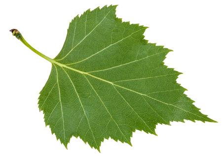 betula pendula: back side of green leaf of birch tree (Betula pendula, silver birch ,warty birch, European white birch) isolated on white background