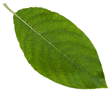 great sallow: green leaf of Salix caprea (goat willow, pussy willow, great sallow) isolated on white background