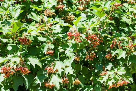 guelder rose berry: bushes of Viburnum plant (Viburnum opulus, guelder rose) with fruits in summer Stock Photo