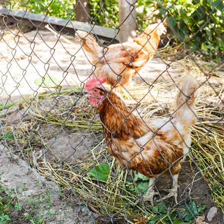 henhouse: Red chicken in outdoor hen house in summer day