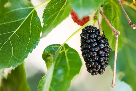 black berry: ripe black berry on Morus tree (black mulberry, blackberry, Morus nigra) close up in sunny day Stock Photo