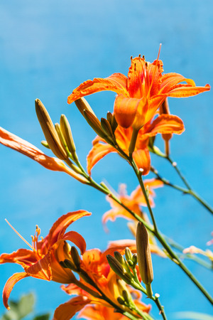 fulvous: fresh flowers of orange daylily with blue background outdoors