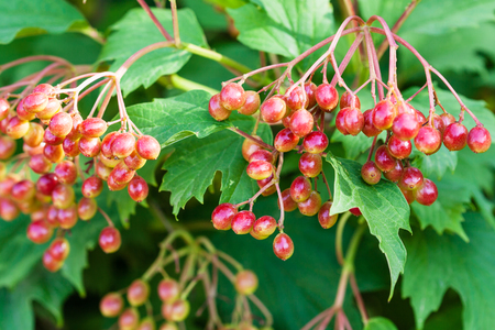 guelder rose berry: fruits of Viburnum (Viburnum opulus, guelder rose) on green shrub in summer