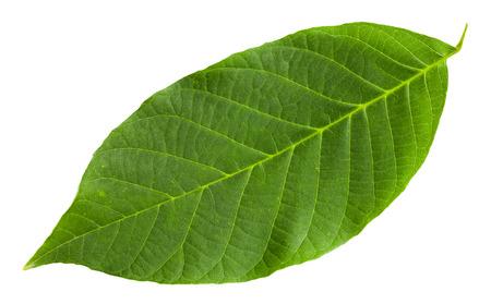 walnut tree: green leaf of Common Walnut tree (Juglans regia, Persian Walnut, English Walnut) isolated on white background
