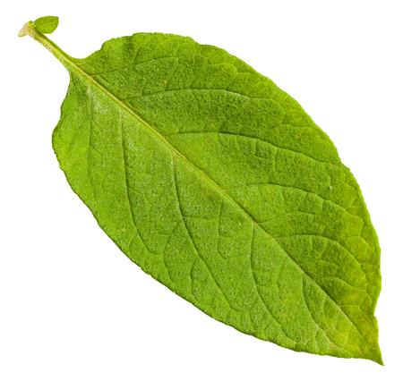 potato tree: green leaf of potato plant isolated on white background