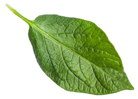 potato tree: fresh green leaf of potato plant isolated on white background