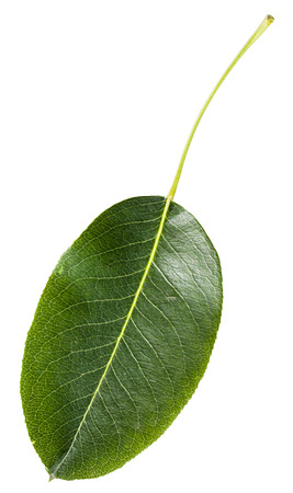 pyrus: green leaf of pear tree (Pyrus communis, European pear, common pear) isolated on white background Stock Photo