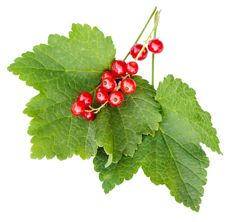 ribes: berries and green leaves of red currant (Ribes rubrum) plant isolated on white background Stock Photo