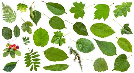 aspen leaf: set of varuious green leaves isolated on white - plum, fern, rowan, hazel, ash, maple, larch, oak, birch, acer, quince, grape, aspen, cucumber, potato, parthenocissus, ivy, cydonia, hedera, etc