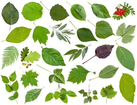 acer: set of varuious green leaves isolated on white - apple, fern, rowan, oak, acorn, honeysuckle, acer, maple, ash, vine, grape, parthenocissus, ivy, malus, basil, cherry, potato, poplar, willow, etc