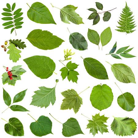sallow: set of varuious green leaves isolated on white - fragaria, malus, morus, blackberry, mulberry, redcurrant, viburnum, kalina, black currant, potato, crabapple, willow, sallow, salix, fern, rowan, etc