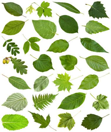 tilia: set of varuious green leaves isolated on white - hawberry, maple, acer, sambucus, elderberry, birch, fern, fraxinus, ash, oak, acorn, peppermint, honeysuckle, tilia, lime, caragana, acacia, etc Stock Photo