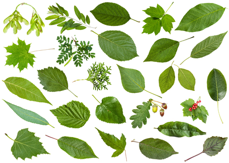 set of varuious green leaves isolated on white - mulberry, redcurrant, currant, ribes, peach, thuja, pear, basil, cherry, crataegus, hawthorn, redhaw, raspberry, rubus, walnut, poplar, acacia, etc Stock Photo