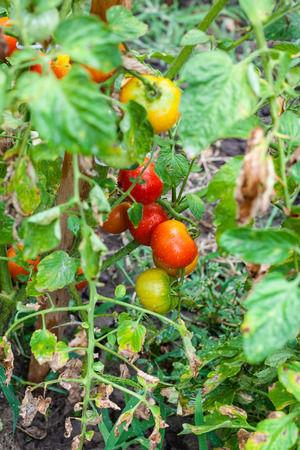 stake: ripe tomatoes on stake in vegetable garden after rain