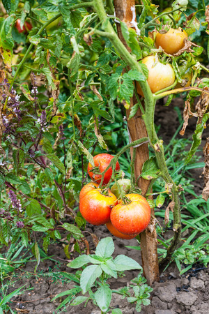 stake: bush with ripe tomatoes on stake in vegetable garden after rain Stock Photo