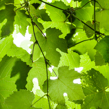 square natural background - Wet green grape leaves on vineyard in rain
